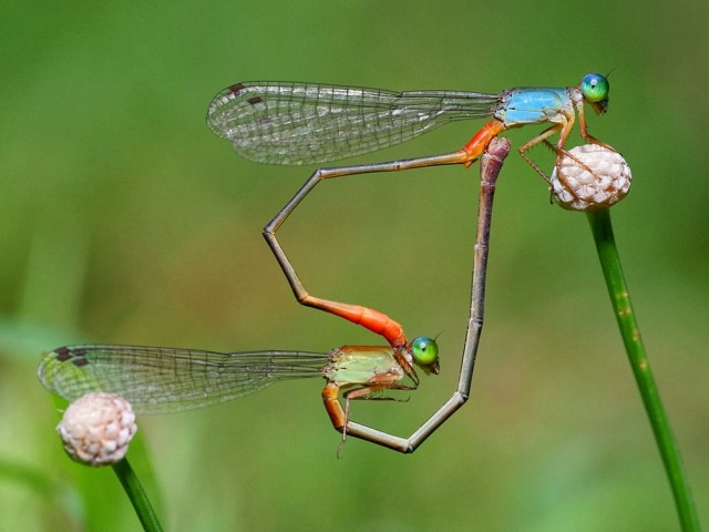 02_2014_damselflies-heart-shape